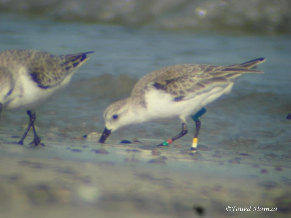 Calidris alba (Sanderling - Bécasseau sanderling): ringed in Iceland in 2011, and wintering in the Gulf of Gabès, Tunisia