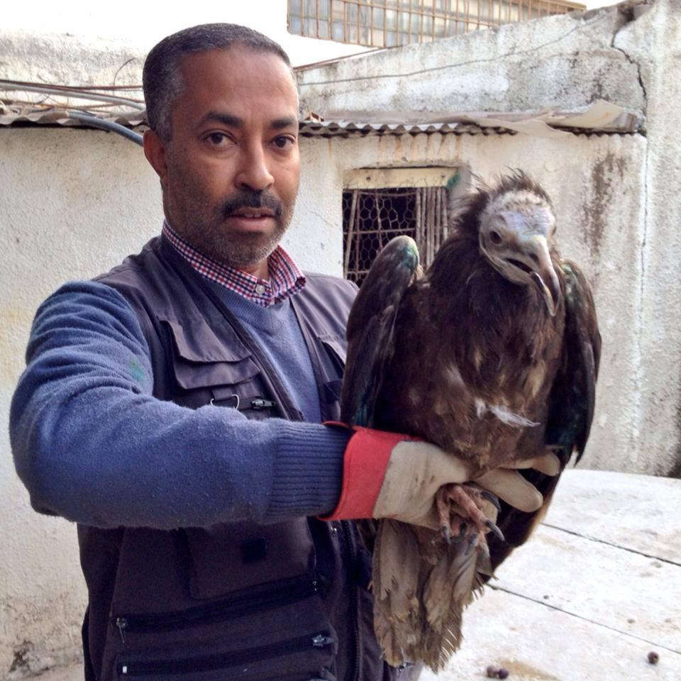 """Le président de l'Association """"Les Amis des Oiseaux"""" (AAO) Hichem Azafzaf, avec le Vautour percnoptère (Neophron percnopterus)"""