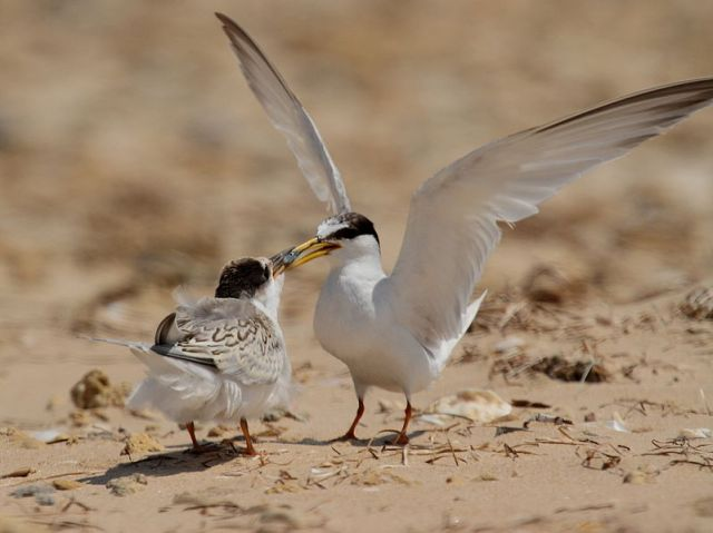 Little Tern (Sterna albifrons) feeding a chick