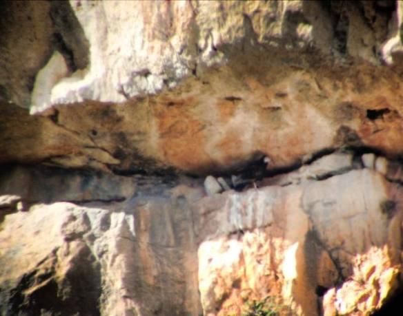 Vautour percnoptère (Neophron percnopterus) libre dans le Parc National de Zaghoun