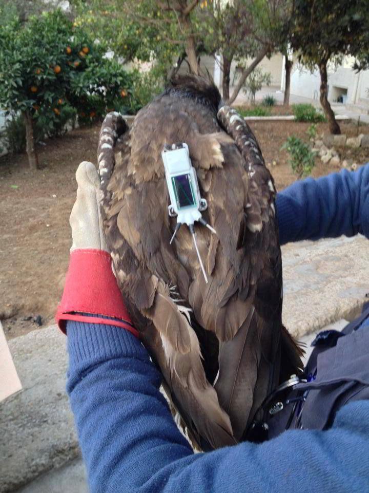 Vautour percnoptère (Neophron percnopterus), sauvé de trafic illégal d'oiseaux, équipé d'un émetteur GPS et libéré.