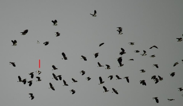 Sociable Lapwing - Vanneau sociable (Vanellus gregarious), Cap Bon, Tunisia