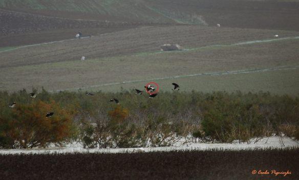 Sociable Lapwing (Vanellus gregarious), Lebna Reservoir, Cap Bon, Tunisia