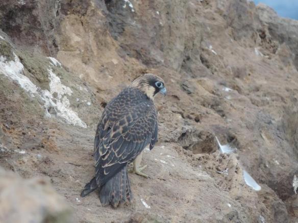 Faucon d'Eléonore (Falco eleonorae), Oran, Algérie