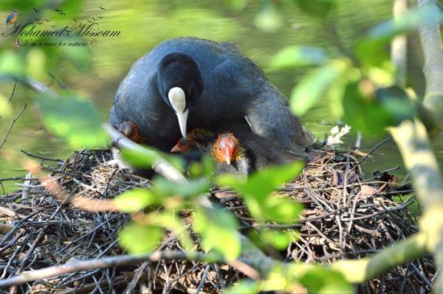 Common Coot - Foulque macroule (Fulica atra)