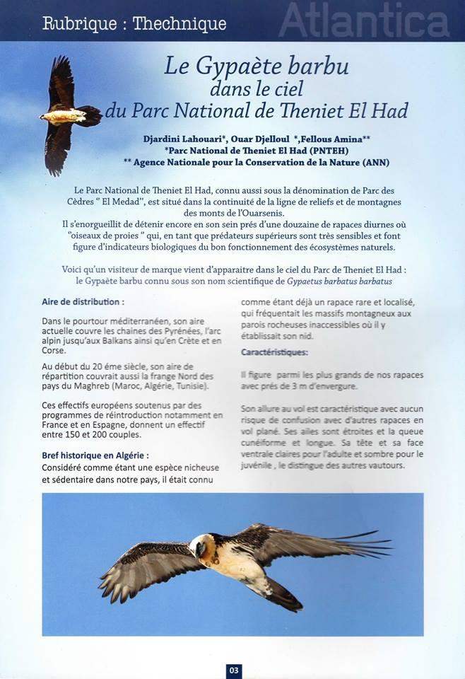 Gypaète barbu (Gypaetus barbatus) dans le Parc National de Theniet El Had, Algérie
