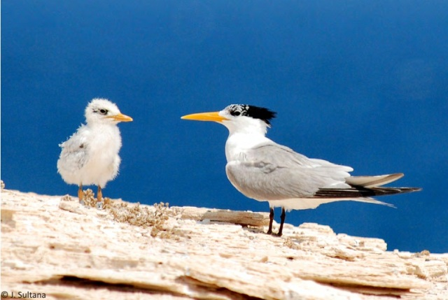 Adult Mediterranean Lesser Crested Tern (Thalasseus bengalensis emigrates) and ringed juvenile at Garah, Libya