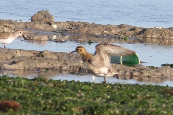 Pacific Golden Plover (Pluvialis fulva), Djerba Island, Gulf of Gabes, Tunisia