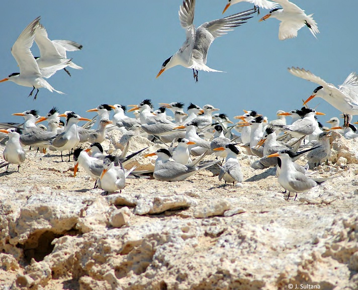 Breeding colony of the Mediterranean Lesser Crested Terns (Thalasseus bengalensis emigrates) at Garah, Libya