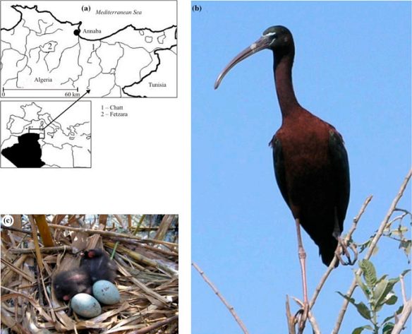 Location map showing study sites (a), with an adult of Glossy Ibis (b), and the Glossy Ibis nest containing chicks and eggs (c)
