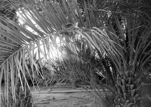 Nid du Merle noir (Turdus merula) dans les palmeraies de Zibans (Biskra), piémont sud de l'Atlas saharien, Algérie