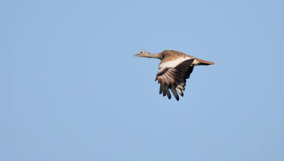Great Bustard - Grande Outarde (Otis tarda), northern Morocco