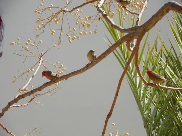 Amarante du Sénégal - Red-billed Firefinch (Lagonosticta senegala), Ifri, Djanet, sud-est de l'Algérie