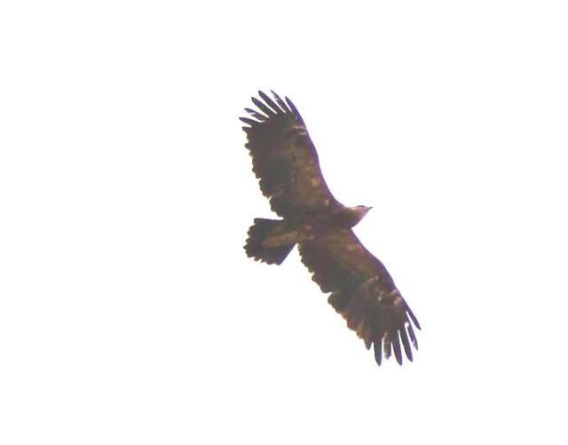 Aquila pomarina - Aigle pomarin - Lesser Spotted Eagle, nord-est Algérien, 25 juin 2015