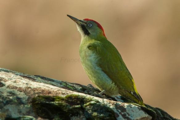 Levaillant's Woodpecker (Picus vaillantii), Oukaimeden, Morocco