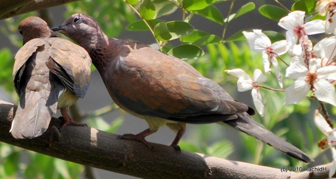 Laughing Dove (Streptopelia senegalensis), Helwan, Egypt