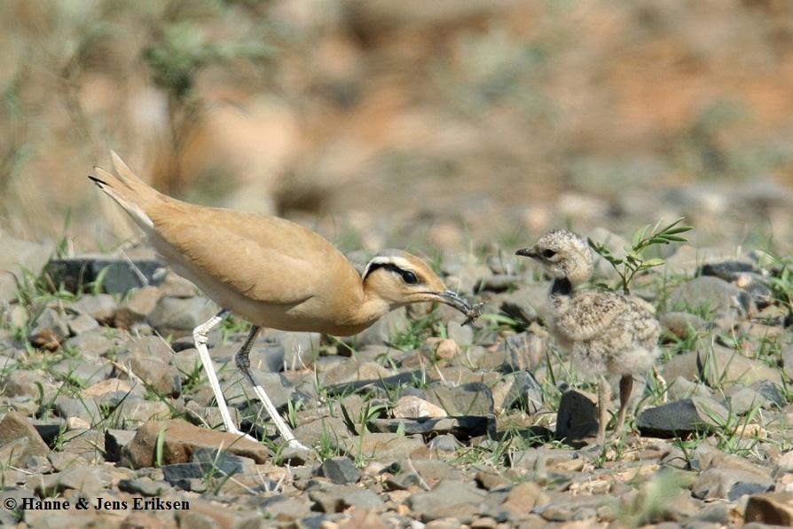 Adult Cream-coloured Courser (Cursorius cursor) feeding a small chick at Hadibo, Socotra Island