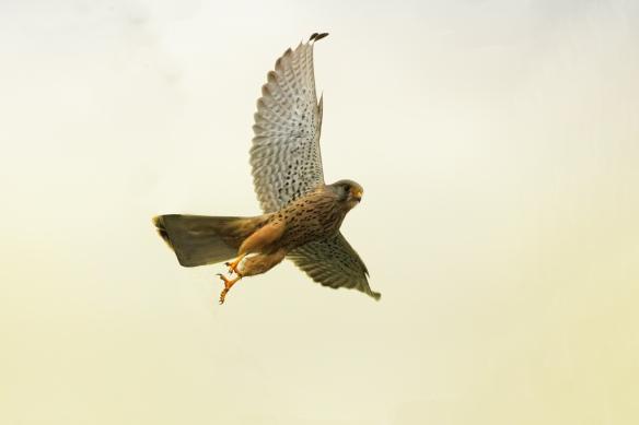 Common Kestrel (Falco tinnunculus), Algeria