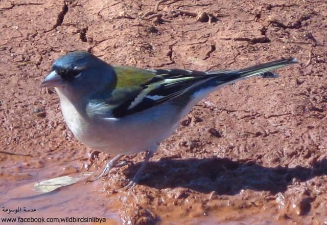 Libyan Chaffinch (Fringilla coelebs harterti): a new subspecies found only in Cyrenaica,north-east Libya.