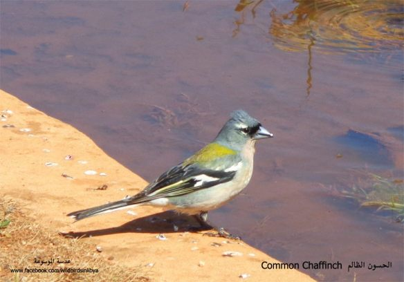 Libyan Chaffinch (Fringilla coelebs harterti): a new subspecies found only in Cyrenaica,north-east Libya