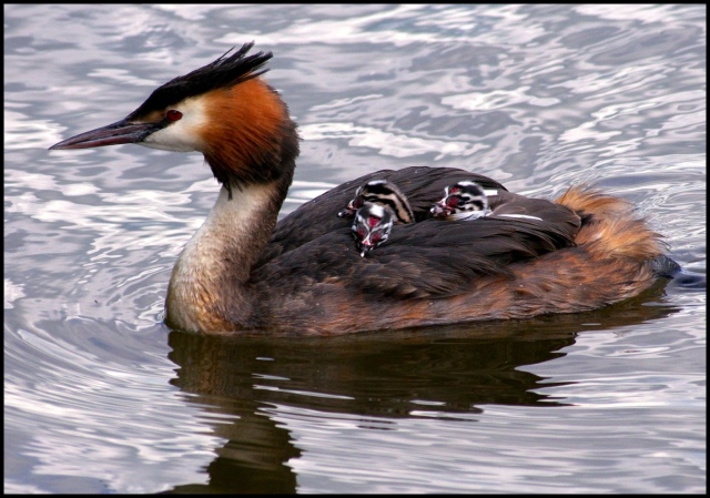 Great-crested Grebe (Podiceps cristatus) and chicks