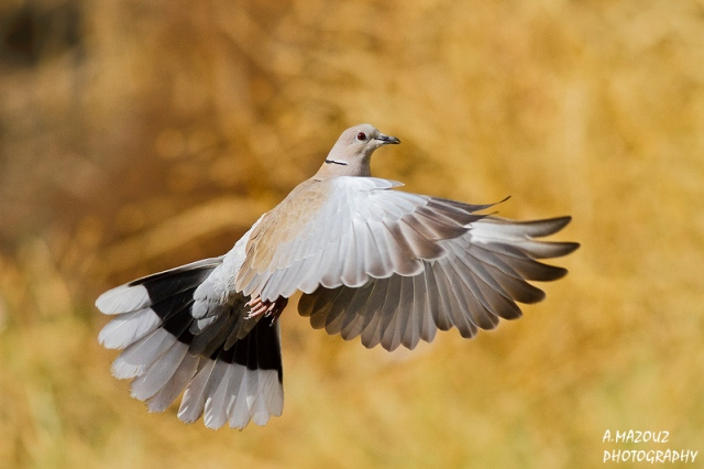 Eurasian Collared Dove (Streptopelia decaocto), Bouira, Algeria