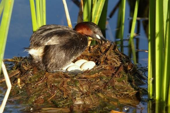 Little Grebe (Tachybaptus ruficollis) nest with eggs