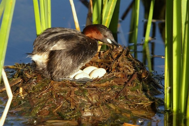 Little Grebe (Tachybaptus ruficollis) nest with eggs