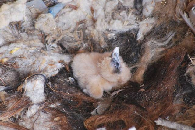 Chick of Egyptian Vulture (Neophron percnopterus), Oum El Bouaghi, Northeast Algeria