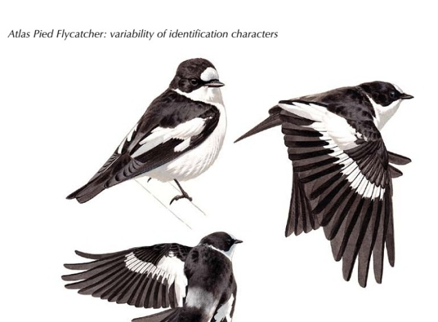 Atlas Pied Flycatchers Ficedula speculigera (Lorenzo Starnini). Images from birds on breeding grounds in Morocco and Tunisia in May