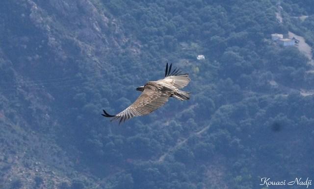 Vautour fauve - Griffon Vulture (Gyps fulvus), Tikjda, Algérie