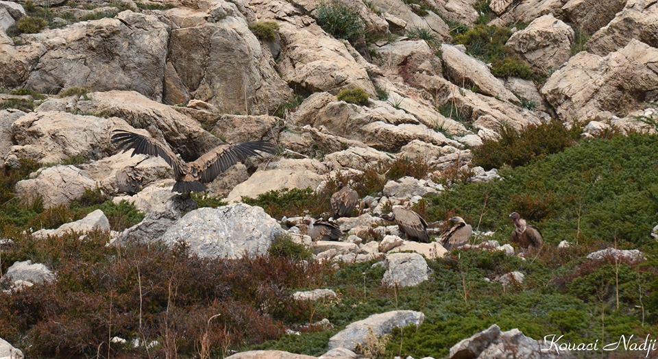 Vautours fauves - Griffon Vultures (Gyps fulvus), Tikjda, Algérie
