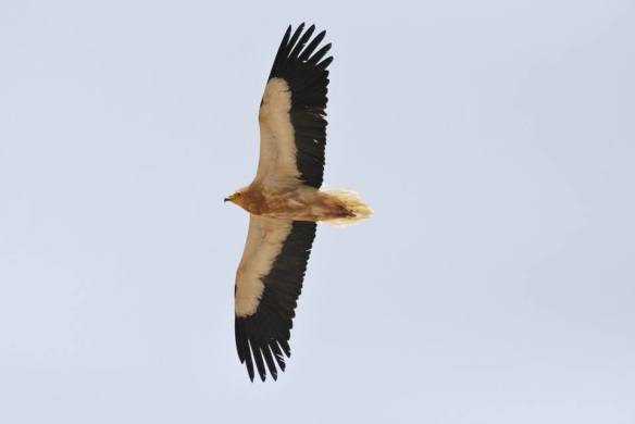 Egyptian Vulture (Neophron percnopterus), Oum El Bouaghi, Northeast Algeria