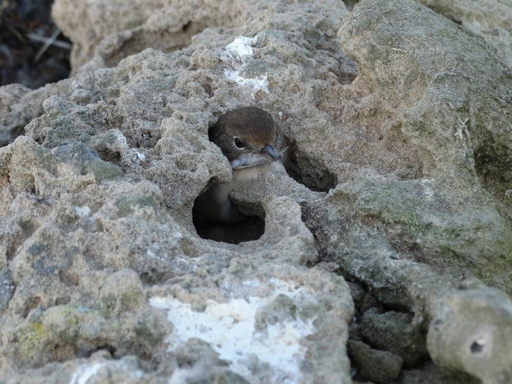 Fauvette grisette (Sylvia communis) immobilisée dans un trou étroit, île de Mogador, Maroc