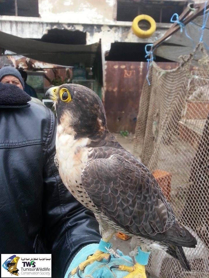 Faucon pèlerin (Falco peregrinus), Souk Moncef Bey, Tunis (Tunisia Wildlife Conservation Society, TWCS)
