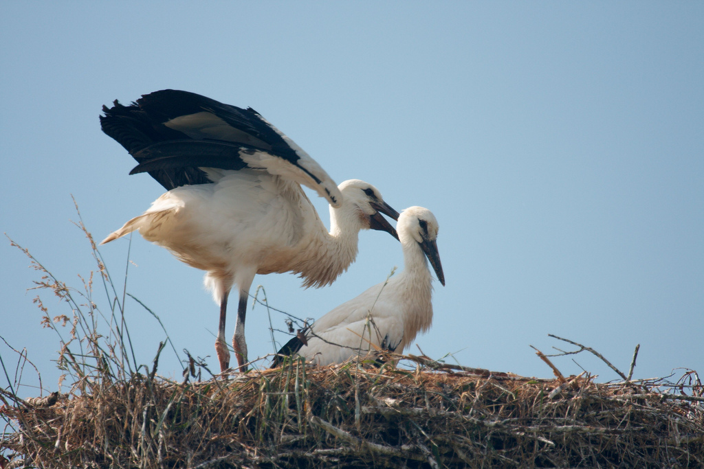 Young White Storks (Ciconia ciconia) at nest