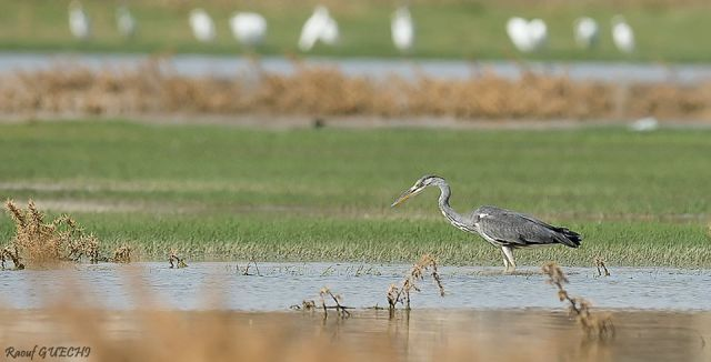 Grey Heron (Ardea cinerea) foraging, Ain Yagout, north-east Algeria