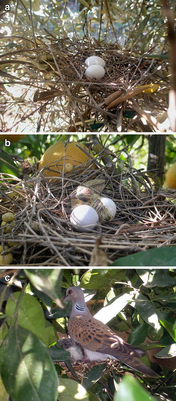 Turtle Doves: nest with two eggs, newly hatched chick, and adult at nest with its chicks