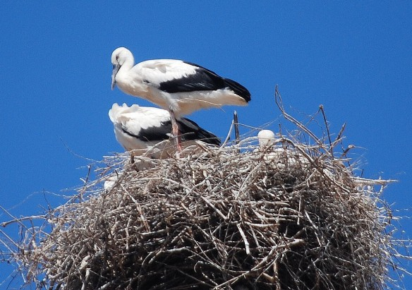 White Storks (Ciconia ciconia) at nest, Algeria