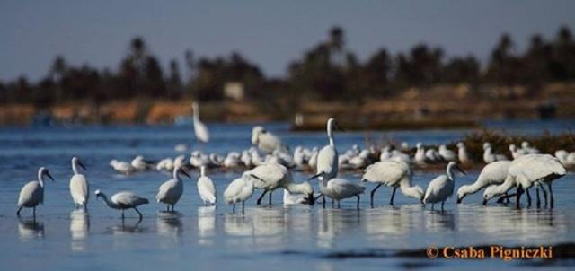 Eurasian Spoonbills (Platalea leucorodia), Gulf of Gabès, Tunisia (Csaba Pigniczki )