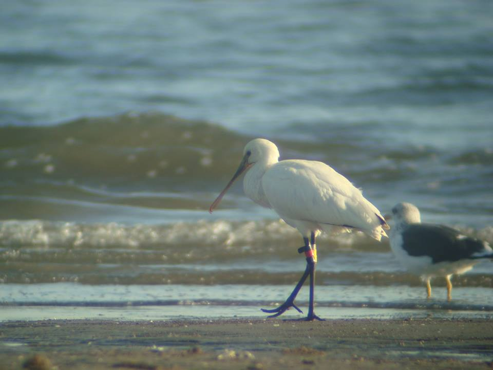 Eurasian Spoonbill, Spatule blanche (Platalea leucorodia) ringed in The Netherlands and observed here in gulf of Gabès, Tunisia.