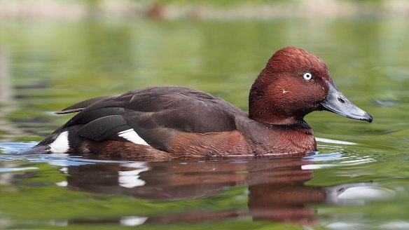 Ferruginous Duck (Aythya nyroca). Photo: Francis C. Franklin / CC-BY-SA, Wikipedia